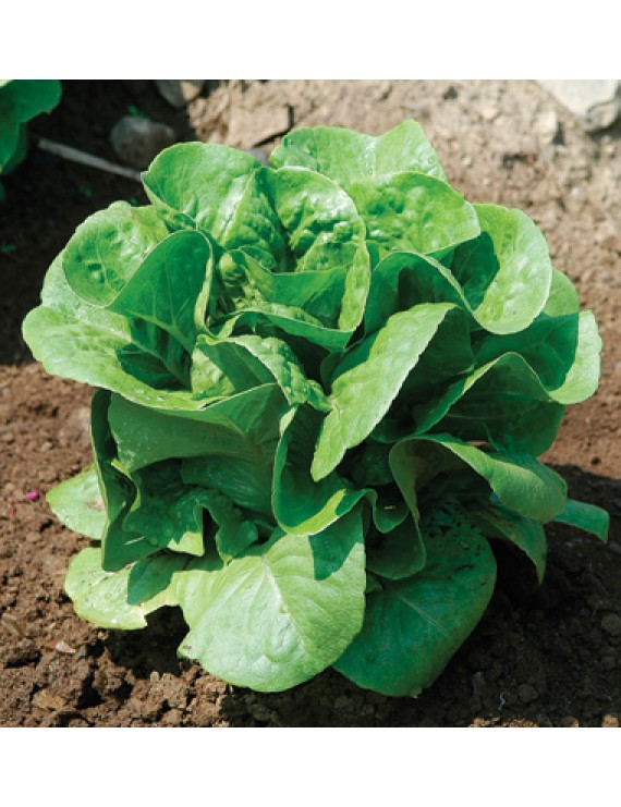 Winter Density Lettuce – organic